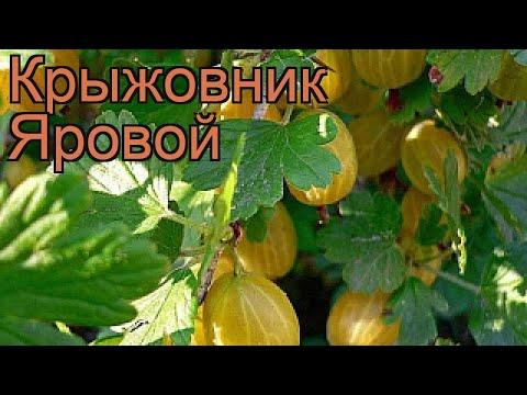 Крыжовник обыкновенная Яровой (ribes grossularia) 🌿 обзор: как сажать, саженцы крыжовника Яровой