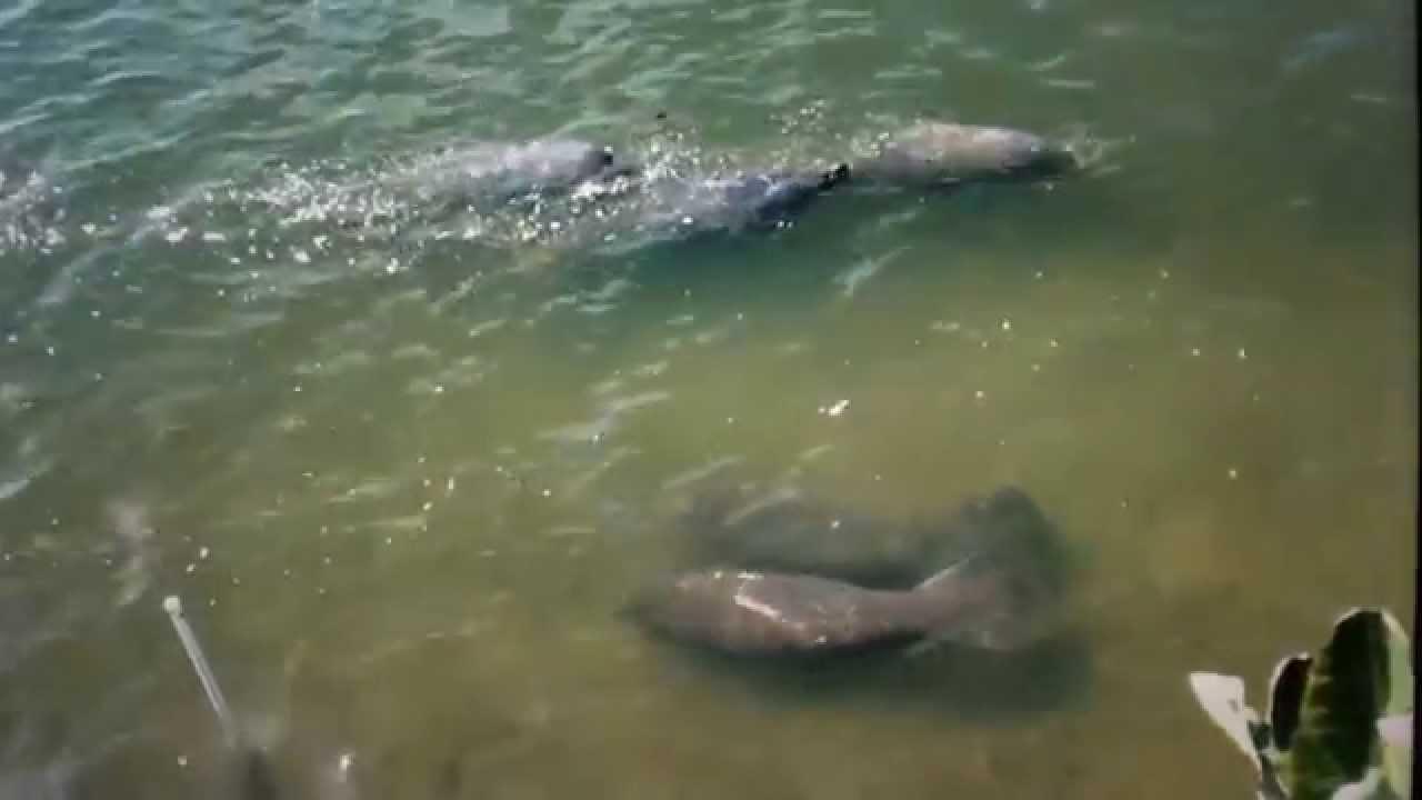 Manatees Feeding On The Banana River At Cocoa Beach Florida