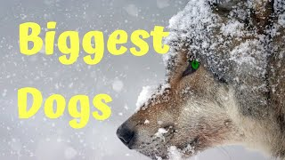 10 Abnormally Large Dogs Around The World
