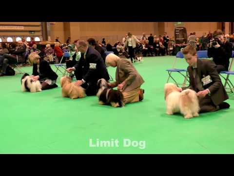 Havanese Dogs Crufts 2017