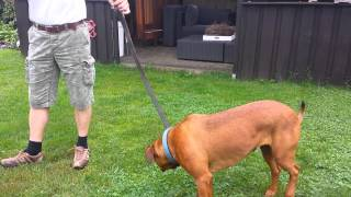 Rottweiler X Boerboel Beau After Sterelilisation