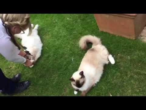 Ragdoll cat tricks