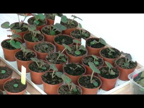 Выращивание бегонии из семян. Часть 2.