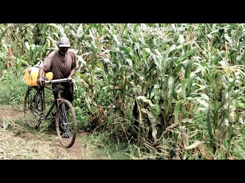 Agriculture: Malawi Gold