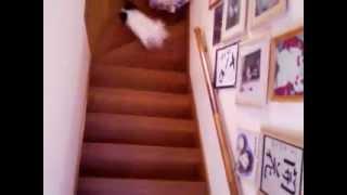 階段で足がもつれるパピヨン犬みるく thumbnail