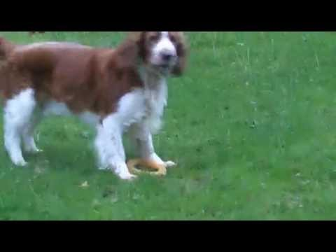 Finlay & Ramsay Welsh Springer Spaniels.