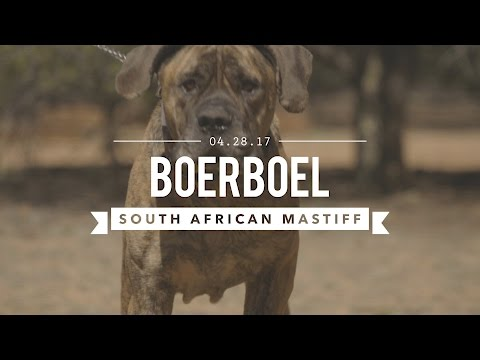 BOERBOEL A SOUTH AFRICAN MASTIFF TRAINED FOR CIVIL AGGRESSION