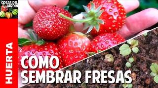Cómo conseguir y germinar semillas de Fresas. Cultivo de fresas - Parte 1 @cosasdeljardin