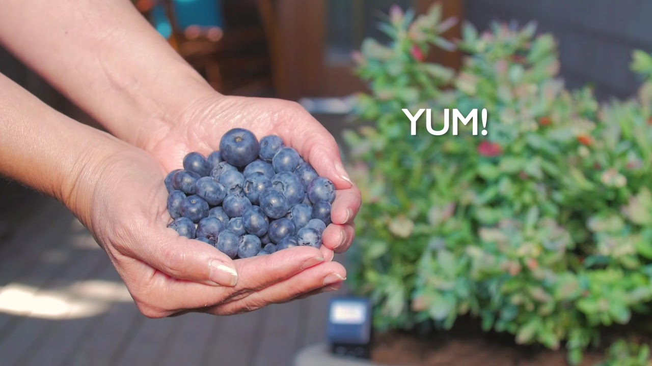 How To Grow Blueberries In A Pot Youtube
