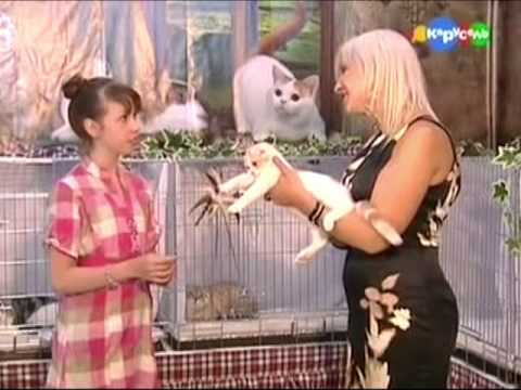 Прикольная Шотландская вислоухая кошка ест сыр и мороженое лапами