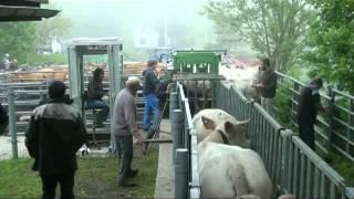 L'arrivée des vaches dans l'alpage du Senepi