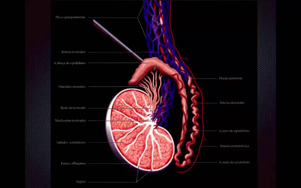 Anatomia da bolsa testicular - YouTube