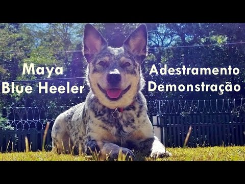 Adestramento Australian Cattle Dog (Blue Heeler)