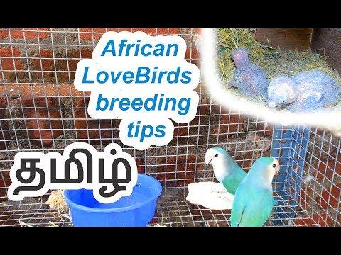 African Lovebirds  breeding tips in Tamil  (தமிழ்)
