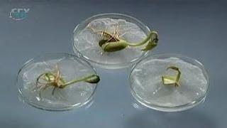 Семя. Значение запасных веществ для прорастания семян