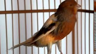 Suara Kenari Juara Mp3  Masteran Kenari Burung Kenari Gacor Durasi Panjang