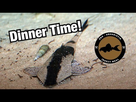 Feeding The Chameleon Whiptails (Pseudohemiodon Aff. Apithanos)