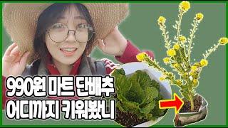 단배추키우기/단배추씨앗추출/텃밭/초보농사꾼달련