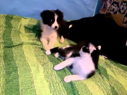 border collie puppy and cat