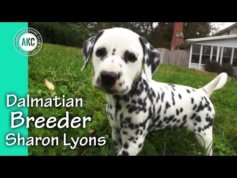 Dalmatian Breeder and Her Puppies