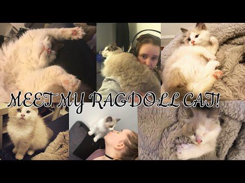 MEET MY RAGDOLL CAT!