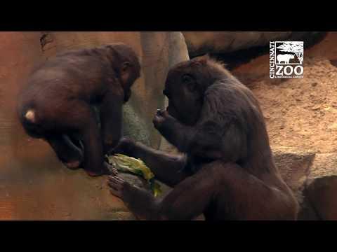 New Indoor Gorilla Habitat Opens to the Public - Cincinnati Zoo