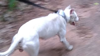 Huck Treino Dúvidas De Escolha Filhote Pit Bull pro Game Dog.Duvidas de Marcas Pitgameness.