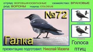 Галка. Голоса птиц
