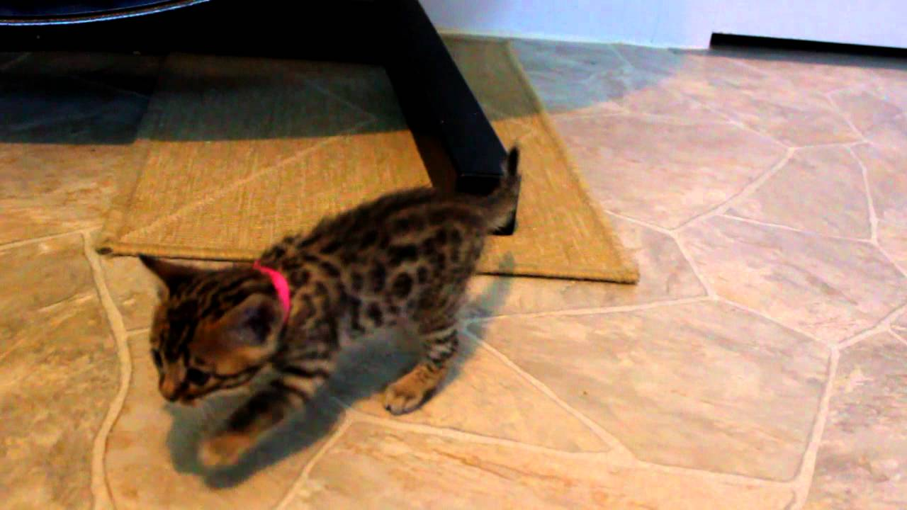Bengal Kittens At Wildrose Bengals At 5 Weeks Old Youtube
