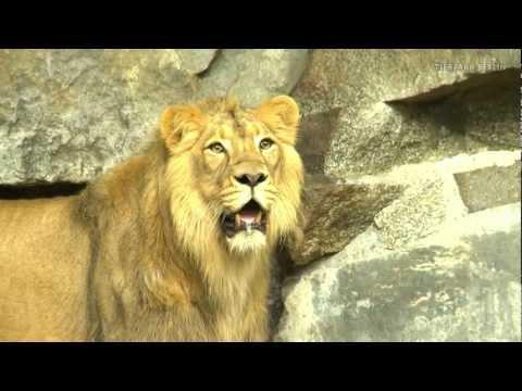 Die Löwen Tierpark Berlin