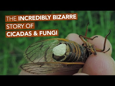 The Incredibly Bizarre Story Of Cicadas & Fungi