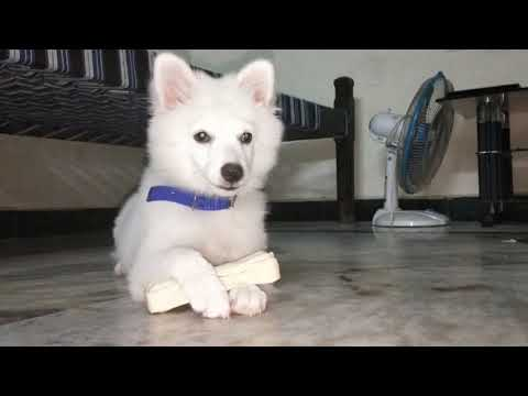 Dog chewing bones tamil review / puppy playing and barking /Indian spitz dog