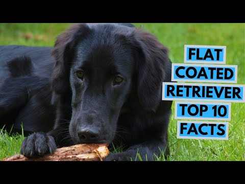 Flat Coated Retriever  TOP 10 Interesting Facts