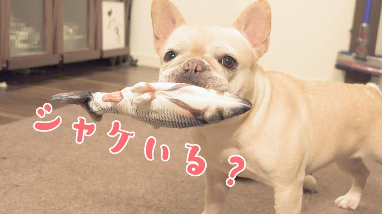 #354 もしも落ちてたシャケが生きてたら犬はどうなっちゃうのか?【フレンチブルドッグのおかか ZV-1】【frenche】
