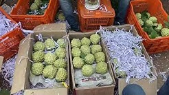 Fruit packing at ALANKAR NURSERY, PARNER, TALUKA AMBAD, DISTRICT JALNA, MAHARASHTRA.