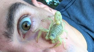 4K Wild Scorpion: Found It Under Couch, Crawls On Face, Won't Leave!, Nature Travel Fishing Herping.