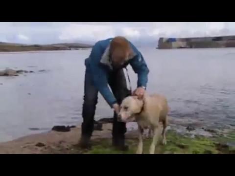 Scottish labrador dog swimming with dolphin
