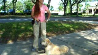 Dog Training Golden Retriever Gunnar 8 Months E-collar