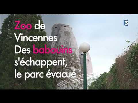 Zoo de Vincennes : des babouins s'échappent de leur enclos, le parc évacué