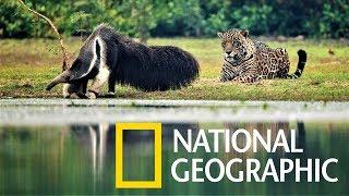 美洲豹與大食蟻獸面對面!後果請讓我們繼續看下去……《國家地理》雜誌