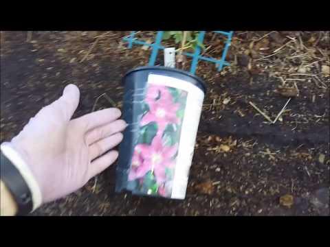 Посадка клематисов.   1 часть  Высаживаю два клематиса в одну посадочную яму.