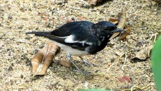 Close encounter with an Oriental Magpie-Robin