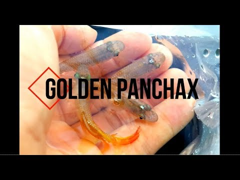 Breeding Golden Panchax Killifish - Step By Step