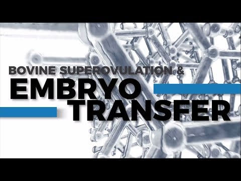 Bovine Superovulation & Embryo Transfer