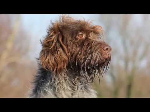 Wirehaired Pointing Griffon - medium size dog breed