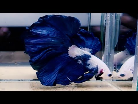 BEST OF ALL BETTA FISH - Beautifull Betta Fish In Asia Thailand - Indonesia - Europe