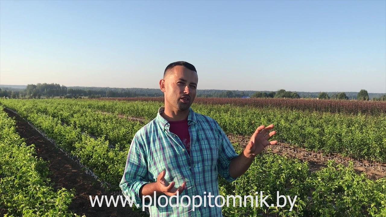 ВИШНЯ, ЧЕРЕШНЯ, ДЮК. Подвои для вишни, черешни, дюка, используемуемые для выращивание саженцев.