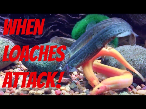 Vicious Dojo Loach Attack! (Parental Advisory)