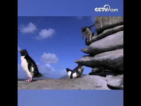 Падение неуклюжих, но таких милых пингвинов CCTV Русский