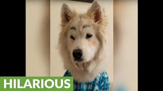 Stylish husky gets fabulous new makeover
